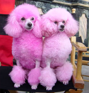 Toy Poodles Becoming Japanese Police Dogs…?