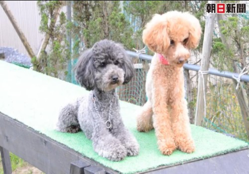 More on toy poodles joining the police force (video)