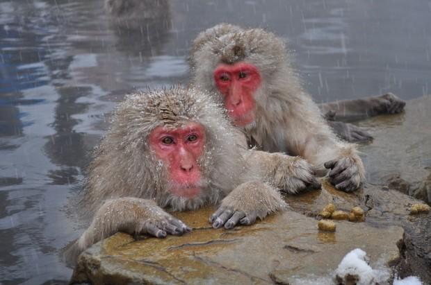 1024px-Snow_Monkeys,_Nagano,_Japan